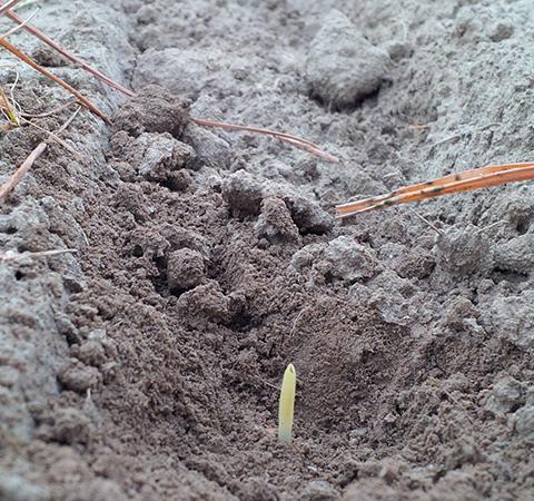 Il mantenimento di uno strato di residuo colturale che in alcuni casi può raggiungere i 10-15 cm permette di contenere la perdita di umidità subito dopo la semina, a vantaggio della velocità di germinazione ed emergenza.