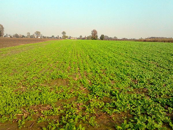 L'impiego di colture di copertura opportunamente scelte ed intercalate alle colture da reddito si possano ricavare dei benefici significativi sul piano agronomico
